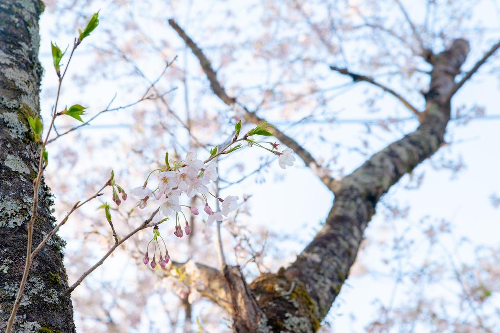 20190406165235_0.jpg 家山桜トンネル