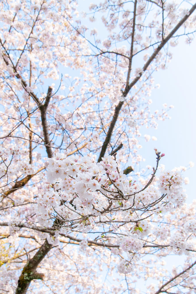 20190406165328_0.jpg 家山桜トンネル