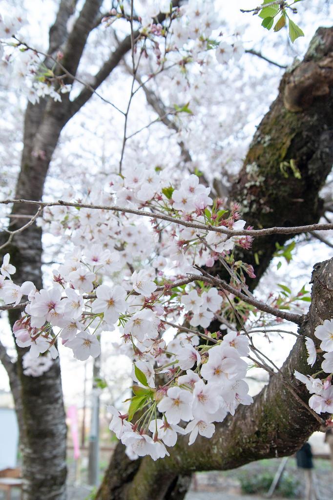 20190406172251_0.jpg 家山桜トンネル
